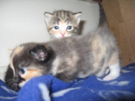 Purebred bengal kittens for sale australia