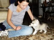 Find Husky Ads Our Dogs Puppies Category From Brisbane