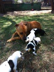 Bull Mastiff X Puppies for sale