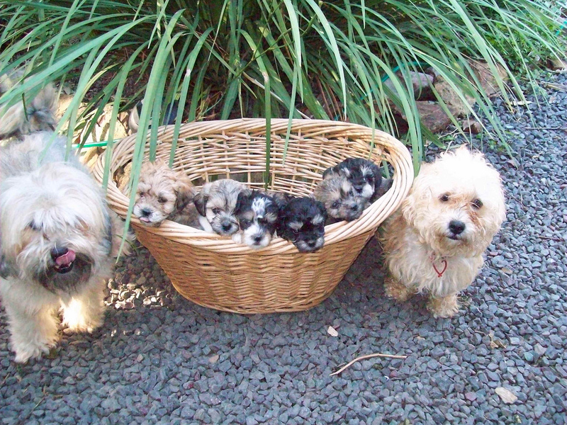Shih tzu X toy poodle, Shih-poo puppies on sale Ipswich