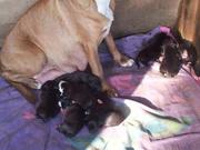 staffy pups for sale