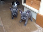 Pied French Bulldog For Stud
