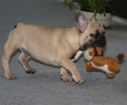 3 available french bulldog puppies