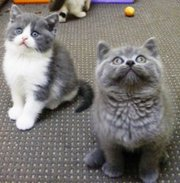 wonderful specked markings British Shorthair kittens.