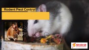 Hire Rodent Pest Control Experts in Brisbane Today