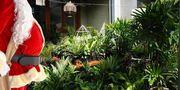 Brisbane - Huge Indoor Plant Warehouse Sale - Christmas in July